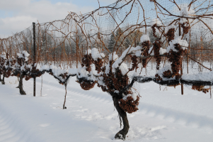 Everything you want to learn about Icewine
