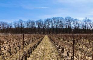 Canada's First Vinifera Vine